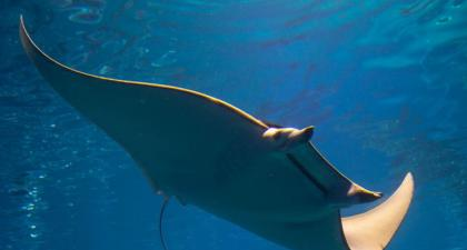 Rare manta ray nursery uncovered in Texas